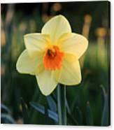 Daffodil At Sunset Canvas Print