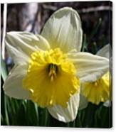 Daffodil Days Canvas Print