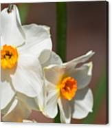 Daffodil Dazzle Canvas Print