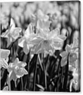 Daffodil Glow Monochrome By Kaye Menner Canvas Print