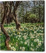 Daffodil Hill Gardens Canvas Print