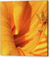 Daffodil - Peeping Tom 05 Canvas Print
