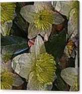 Daffodil Study Canvas Print