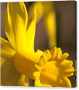 Daffodil Yellow Canvas Print