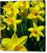 Daffodils 2010 Canvas Print