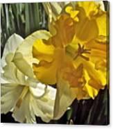 Daffodils 4 Canvas Print