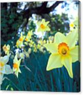 Daffodils And The Oak 2 Canvas Print