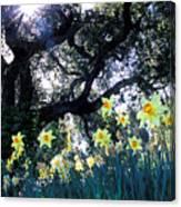 Daffodils And The Oak Canvas Print
