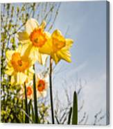 Daffodils Backlit Canvas Print