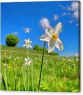 Daffodils Blossimg At Cavalla Plains 2017 II - Fioritura Dei Narcisi Al Pian Della Cavalla 2017 Canvas Print