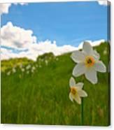 Daffodils Blossimg At Cavalla Plains 2017 Iv - Fioritura Dei Narcisi Al Pian Della Cavalla 2017 Canvas Print