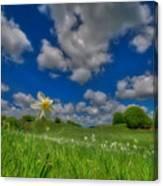 Daffodils Blossimg At Cavalla Plains 2017 V - Fioritura Dei Narcisi Al Pian Della Cavalla 2017 Canvas Print