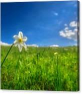 Daffodils Blossimg At Cavalla Plains 2017 Vi - Fioritura Dei Narcisi Al Pian Della Cavalla 2017 Canvas Print