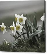 Daffodils Desaturated Canvas Print