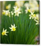 Daffodils In A Bunch Canvas Print