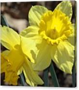 Daffodils In Spring Canvas Print