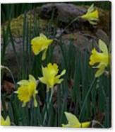 Daffodils In The Smokies Canvas Print