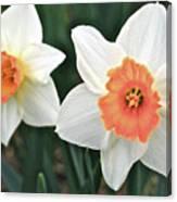 Daffodils Orange And White Canvas Print