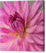Dahlia After The Rain Canvas Print
