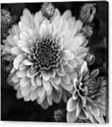 Dahlia Burst B/w Canvas Print