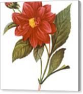 Dahlia (dahlia Pinnata) Canvas Print