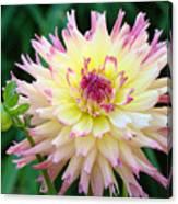 Dahlia Floral Pink Yellow Flower Garden Baslee Troutman Canvas Print