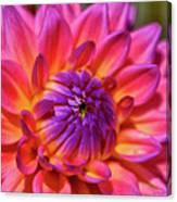 Dahlia Flower 017 Canvas Print