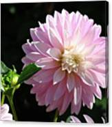 Dahlia Flower Art Pink Dahlias Giclee Art Prints Baslee Troutman Canvas Print