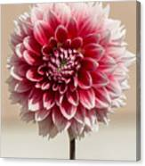 Dahlia- Pink And White Canvas Print