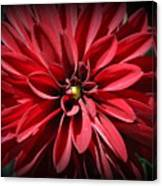 Dahlia Radiant In Red Canvas Print