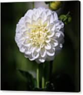 Dahlia White Flowers II Canvas Print