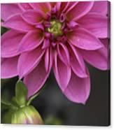 Dahlia With Dew In Pink Canvas Print