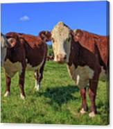 Cattle Andover New Hampshire Canvas Print