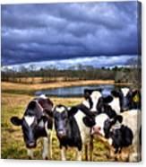 Dairy Heifer Groupies Future Chick-fil-a Starrs Canvas Print