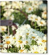 Daisies And A Hand Plow Canvas Print