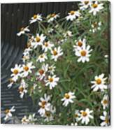 Daisies By The Bench Canvas Print