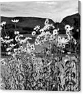 Daisies By The Roadside At Loch Linnhe B W Canvas Print