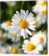 Daisies Flowers Field Blurriness 107162 2048x2048 Canvas Print
