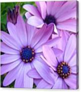 Daisies Lavender Purple Daisy Flowers Baslee Troutman Canvas Print