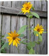 Daisies On The Fence Canvas Print