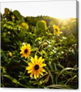 Daisies Tangled Sunrise Delray Beach Florida Canvas Print
