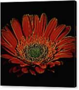 Daisy 105 Canvas Print