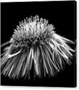 Daisy Flea Bane 0619c Canvas Print