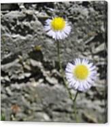 Daisy Fleabane Flowers Canvas Print
