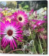 Daisy Flower In Jeju Canvas Print