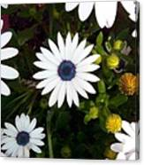 Daisy Forms Canvas Print