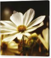 Daisy Haze Canvas Print