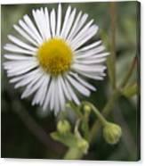 Daisy In White Canvas Print