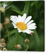 Daisy One Canvas Print