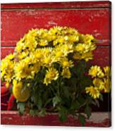 Daisy Plant In Drawers Canvas Print